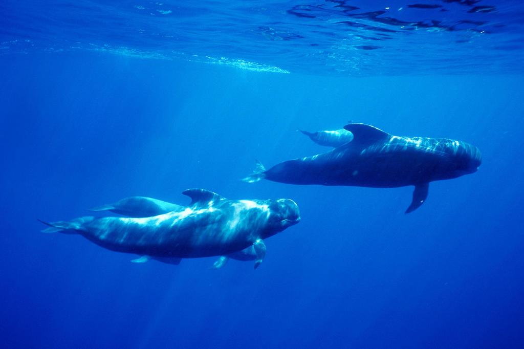 """Pilot Whales """"Duetting"""""""