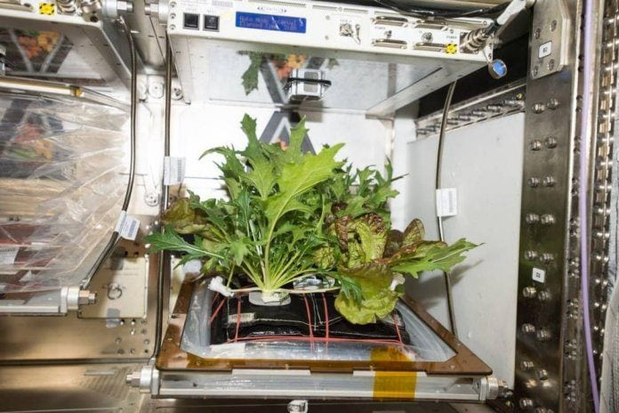NASA Mission: Lettuce Grown in Space